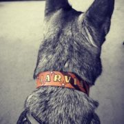 Jarvia in Patriotic collar